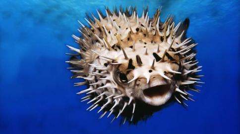 pufferfish-closeup-adapt-945-1